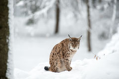 Рысь в зиме Стоковое Изображение RF