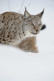 Рысь в зиме Стоковое Изображение