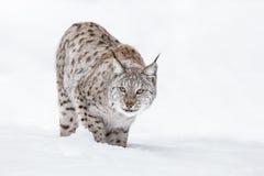 Рысь в зиме Стоковое фото RF