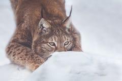 Рысь в лесе зимы снега Стоковое Изображение