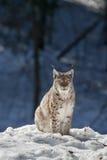 Рысь в снеге Стоковые Фотографии RF