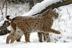 Рысь зимы Стоковые Фото