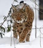 Рысь зимы Стоковые Изображения RF