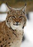 Рысь зимы Стоковые Фотографии RF
