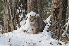 Рысь Канады Стоковая Фотография