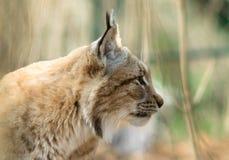 Рысь рыся - mammalia стоковые изображения