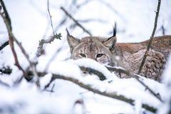 Рысь скрываясь в лесе зимы Стоковые Изображения