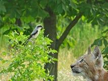 Рысь смотря птицу Стоковая Фотография