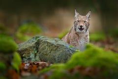Рысь спрятанный в зеленом камне в рысе леса, евроазиатский одичалый идти кота Красивое животное в среду обитания природы, Швеция  Стоковое фото RF
