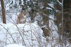 Рысь Euroasian в баварском национальном парке в восточной Германии Стоковые Фото