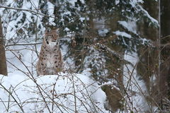 Рысь Euroasian в баварском национальном парке в восточной Германии Стоковая Фотография