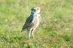 Рыть сыча на хищной птице поля травы стоковая фотография rf