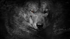 Рычания волка с пламенистым конспектом глаз видеоматериал