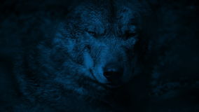 Рычания волка в лесе на ноче сток-видео
