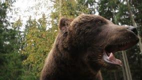 Рычания медведя видеоматериал
