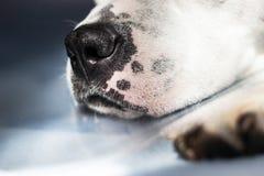 Рыльце собаки Стоковая Фотография RF