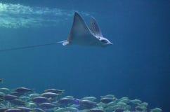 Рэй с заплыванием длинного хвоста над обучать рыб Стоковое Фото