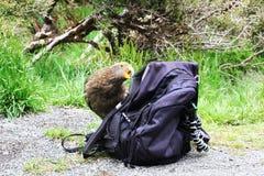 Рюкзак дерзкого попугая Kea сдерживая Стоковое Изображение RF
