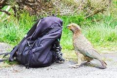 Рюкзак любознательного попугая Kea расследуя Стоковая Фотография