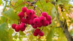 Рябина виноградин Стоковая Фотография