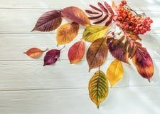 Рябина листьев осени yay на белой деревянной предпосылке Стоковое Изображение