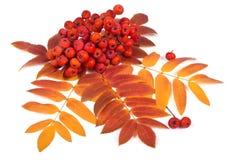 Рябина и листья Стоковая Фотография