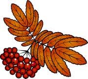 рябина красного цвета листьев ягод осени Стоковое фото RF