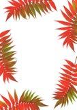 рябина листьев красоток стоковые фото
