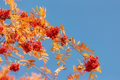 Рябина осени против голубого неба Стоковая Фотография