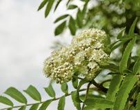 Рябина цветения стоковое фото rf