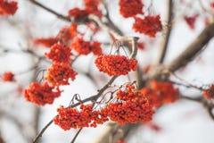 рябина ягоды Стоковое Фото