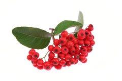 рябина ягоды стоковое изображение
