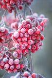 рябина ягод ледистая стоковые изображения