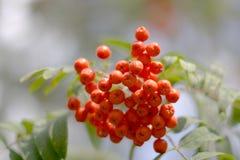 рябина ягод Стоковое Фото