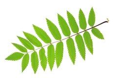 Рябина (aucuparia рябины) Стоковое Фото