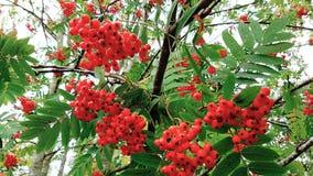 рябин-ягода Стоковое фото RF