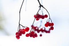 Рябин-ягоды Стоковые Изображения