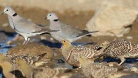 Рябковые и голуби на waterhole видеоматериал