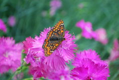 Рябчик болота сидя на цветке гвоздики chinensis фиолетовом Стоковые Изображения