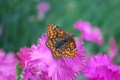 Рябчик болота сидя на цветке гвоздики chinensis фиолетовом Стоковые Изображения RF