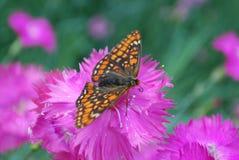 Рябчик болота сидя на цветке гвоздики chinensis фиолетовом Стоковое Изображение RF