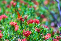 Рябчик Euptoieta claudia залива на плантации butterflys внутри стоковое фото