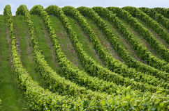 рядки виноградины стоковое изображение