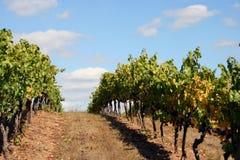 Рядки виноградника na górze холма стоковое фото