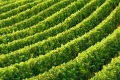 рядки виноградного вина Стоковые Фото