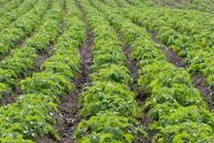 рядки картошки стоковые фотографии rf