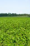 рядки поля черной смородины Стоковое Фото
