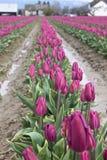 Рядки пурпуровых тюльпанов приближают к вашингтону skagit Стоковые Изображения
