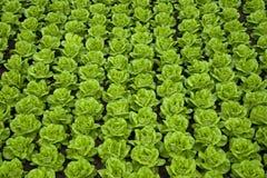 рядки салата стоковые изображения rf