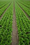 рядки салата стоковые фотографии rf